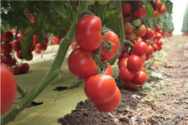 Tomates in Greenhouse Crops